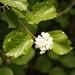Viburnum ellipticum - Photo (c) Eric Knight, todos los derechos reservados