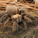 Texas Brown Tarantula - Photo (c) mattbuckingham, all rights reserved