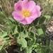 Rosa arkansana - Photo (c) anna-adventuring, todos los derechos reservados