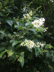 Image of Ligustrum ovalifolium