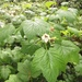 Thimbleberry - Photo (c) debinka, all rights reserved