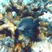 Stegastes obreptus - Photo (c) prinses, todos los derechos reservados