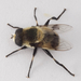 Eristalis anthophorina - Photo (c) Scott King, todos los derechos reservados