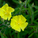 Crocanthemum georgianum - Photo (c) Eric Hunt, כל הזכויות שמורות