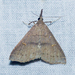 Speckled Renia Moth - Photo (c) treichard, all rights reserved, uploaded by Timothy Reichard