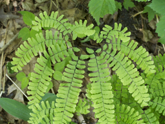 Northern Maidenhair Fern - Photo (c) Scott King, all rights reserved