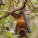 Zorro Volador de la India - Photo (c) Yeray Seminario, todos los derechos reservados