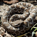 Southern Pacific Rattlesnake - Photo (c) BJ Stacey, all rights reserved