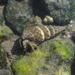 Batillaria attramentaria - Photo (c) rjadams55, todos los derechos reservados, uploaded by R.J. Adams