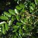 Coriaria arborea arborea - Photo (c) David Lyttle, all rights reserved