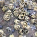 Pacific Acorn Barnacle - Photo (c) octopus, all rights reserved