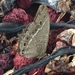 Neope muirheadii nagasawae - Photo (c) dannykuo, todos los derechos reservados