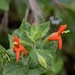 Scarlet Monkeyflower - Photo (c) skepticgam, all rights reserved