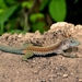 Giant Whiptail - Photo (c) Daniel Pineda Vera, some rights reserved (CC BY)