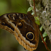 Gold-edged Owl-Butterfly - Photo (c) leizar, all rights reserved, uploaded by Francisco Bethancourt