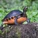 Tortuga de Vientre Rojo de Florida - Photo (c) cbrucecochrane, todos los derechos reservados