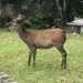 Sika Deer - Photo (c) terugen, all rights reserved