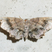 Dark Scallop Moth - Photo (c) treichard, all rights reserved, uploaded by Timothy Reichard