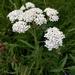 Achillea millefolium - Photo (c) gdeheij, todos los derechos reservados