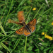 Provincial Fritillary - Photo (c) Giacomo Gola, all rights reserved