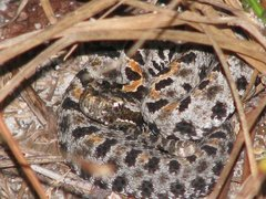 Dusky Pygmy Rattlesnake - Photo (c) connor22, all rights reserved, uploaded by Connor Adams