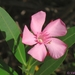 Common Oleander - Photo (c) Valter Jacinto, all rights reserved