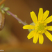 Shrubby Fleabane - Photo (c) Valter Jacinto, all rights reserved