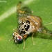 Mediterranean Fruit Fly - Photo (c) Valter Jacinto, all rights reserved