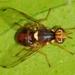 Bactrocera oleae - Photo (c) Valter Jacinto, όλα τα δικαιώματα διατηρούνται