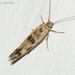 Scythrididae - Photo (c) Valter Jacinto, todos los derechos reservados