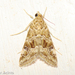 Old World Webworm - Photo (c) Valter Jacinto, all rights reserved