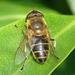 Eristalis similis - Photo (c) Valter Jacinto, todos los derechos reservados
