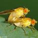 Lauxaniidae - Photo (c) Valter Jacinto, todos os direitos reservados