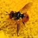 Gymnosoma costatum - Photo (c) Valter Jacinto, todos los derechos reservados