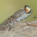 True Horse Flies - Photo (c) Valter Jacinto, all rights reserved