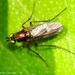 Dolichopodinae - Photo (c) Valter Jacinto, todos los derechos reservados