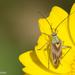 Calocoris roseomaculatus - Photo (c) Valter Jacinto, todos los derechos reservados