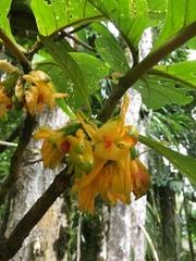 Drymonia macrantha image