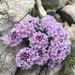 Noccaea rotundifolia - Photo (c) jupiter, todos los derechos reservados