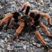 Mexican Pink Tarantula - Photo (c) edain_cuevas, all rights reserved, uploaded by Edain Cuevas