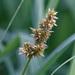 Carex vulpina - Photo (c) Fero Bednar, כל הזכויות שמורות