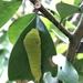 Graphium doson postianus - Photo (c) Chia-chi Wu, todos los derechos reservados