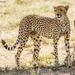 Cheetah - Photo (c) Yeray Seminario, some rights reserved (CC BY-NC)