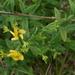 Hypericum virgatum - Photo (c) jptuttle, כל הזכויות שמורות