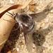Bombylius incanus - Photo (c) derekyorks, all rights reserved