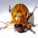 Cyclocephala pasadenae - Photo (c) Jay Keller, kaikki oikeudet pidätetään, uploaded by Jay L. Keller