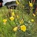Onagra de Jardín - Photo (c) gdeheij, todos los derechos reservados