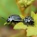 Black-belly Potato Beetle - Photo (c) Julio Alejandro Álvarez Ruiz, all rights reserved