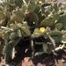 Nopal del Litoral - Photo (c) ambishop9, todos los derechos reservados