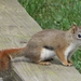American Red Squirrel - Photo (c) John Ratzlaff, all rights reserved, uploaded by J. Allen Ratzlaff